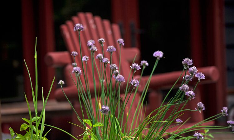 Sands_chives_1791
