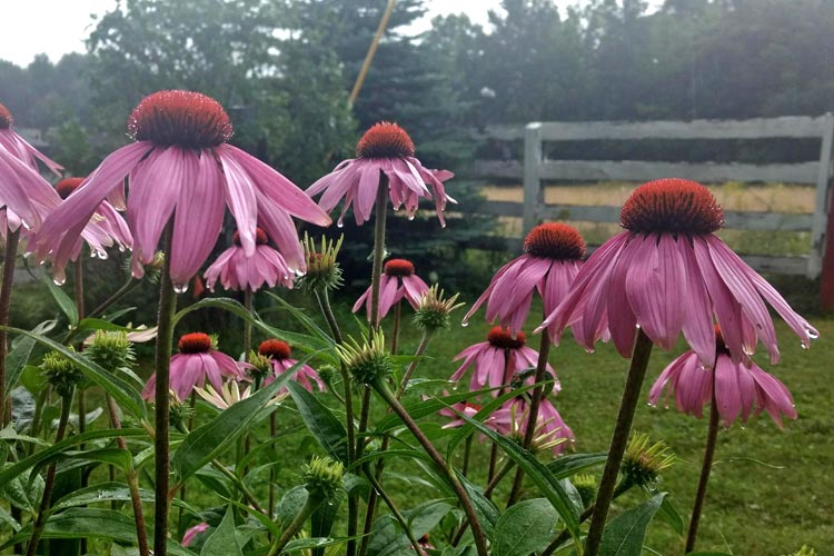 small_projects_Coneflowers2