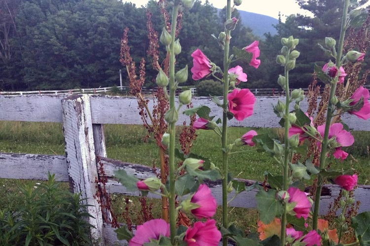 small_projects_Hollyhocks